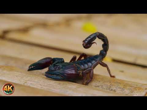 Тигр павлин кобра оса скорпион птицы стрекоза жираф 4K UHD